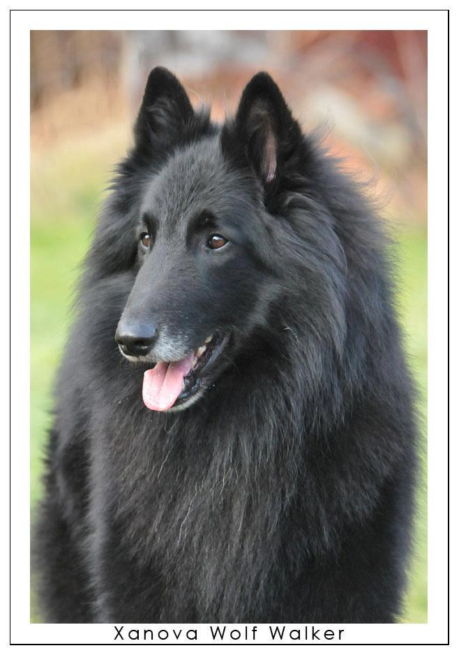 Xanova Wolf Walker
